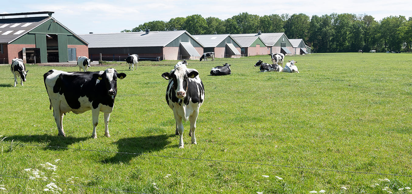 Cows on an RNG producing farm